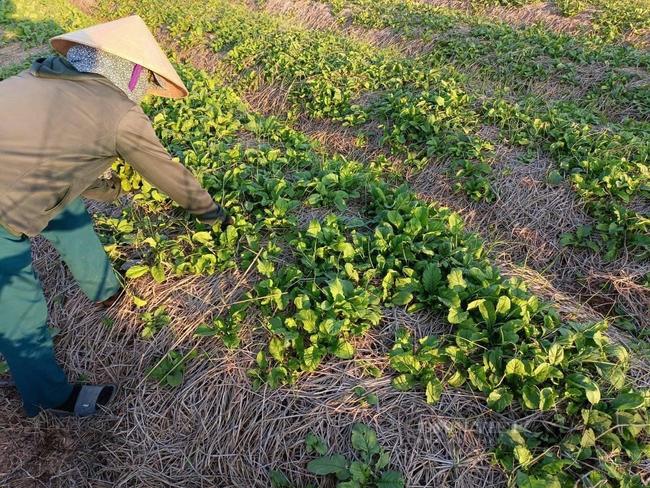 """Nghệ An: Hàng nghìn tấn rau đang """"nằm ruộng"""" chờ đầu ra... - Ảnh 5."""