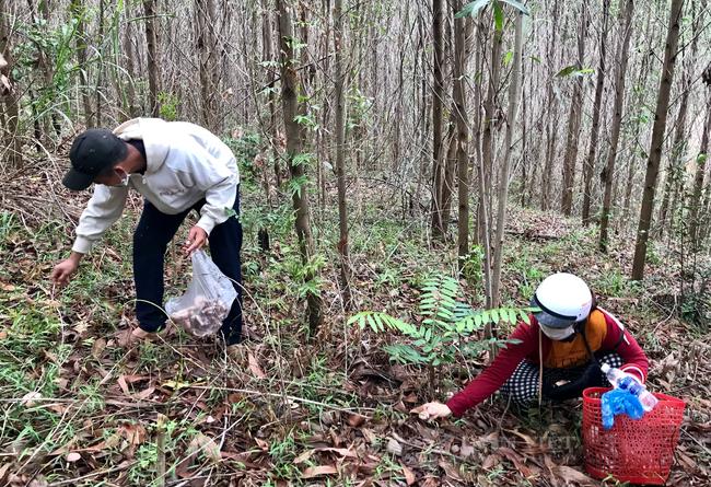TT-Huế: Dân đổ xô lên vùng đồi núi hái loài cây bổ dưỡng đem bán, đút túi tiền triệu mỗi ngày  - Ảnh 2.