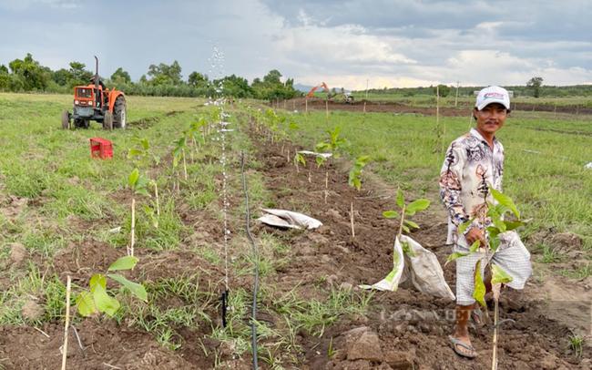 Clip: Nông sản nhiều nơi ùn ứ, công ty này vẫn mở rộng vùng trồng ca cao ngay trong mùa dịch - Ảnh 8.