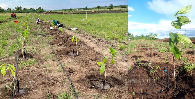 Clip: Nông sản nhiều nơi ùn ứ, công ty này vẫn mở rộng vùng trồng ca cao ngay trong mùa dịch - Ảnh 9.