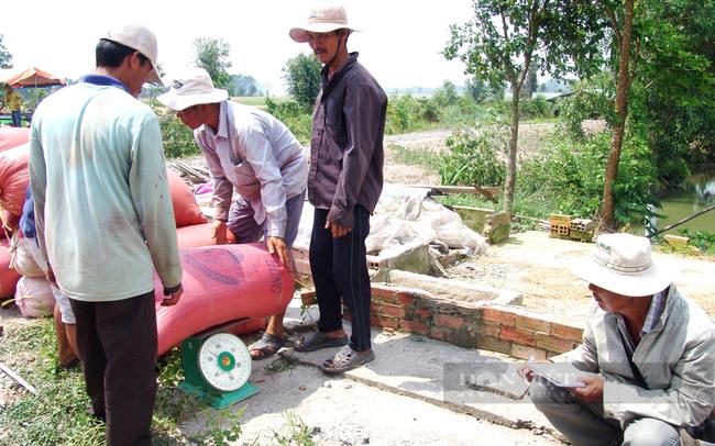 Lực lượng thương lái thu mua lúa gạo ở tỉnh Long An. Ảnh: Trần Đáng