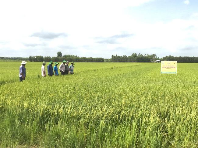 """Đất nhiễm phèn mặn và phụ thuộc vào… """"nước trời"""", các địa phương này vẫn tìm ra """"chìa khóa"""" để canh tác lúa hiệu quả - Ảnh 1."""