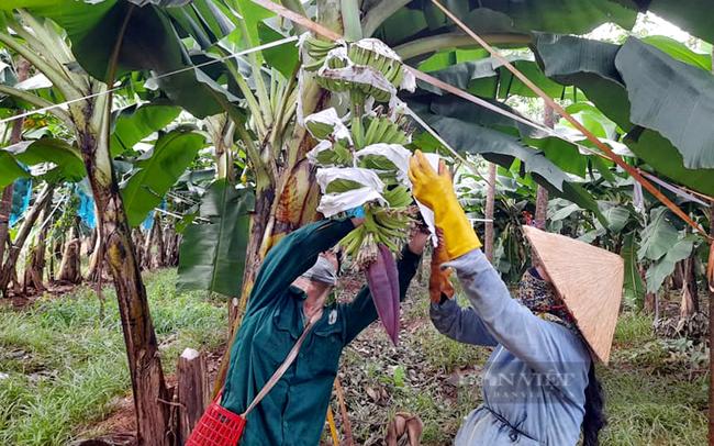 80ha chuối già Nam Mỹ của công ty Union Trading trồng ở xã Tân Hưng (huyện Hớn Quản). Ảnh: Nông nghiệp Hớn Quản
