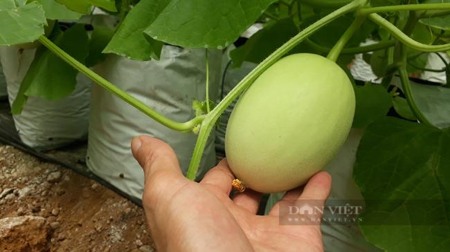 Lai Châu: Trồng dưa lưới trong nhà màng, mỗi cây để 1 quả mà thu gần 200 triệu đồng/vụ - Ảnh 2.