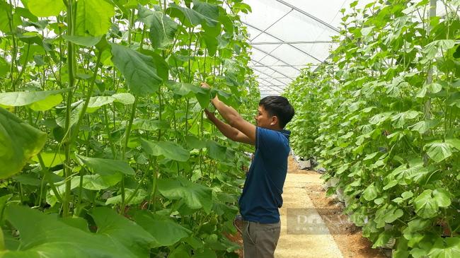 Lai Châu: Trồng dưa lưới trong nhà màng, mỗi cây để 1 quả mà thu gần 200 triệu đồng/vụ - Ảnh 3.
