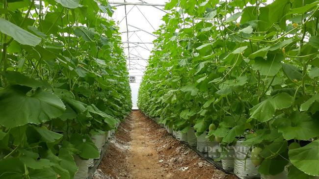 Lai Châu: Trồng dưa lưới trong nhà màng, mỗi cây để 1 quả mà thu gần 200 triệu đồng/vụ - Ảnh 4.