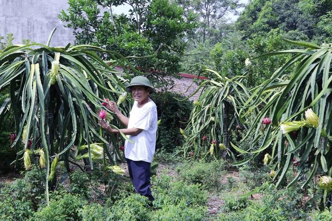 Phú Thọ: Nông dân giỏi tiết lộ bí quyết bón phân Lâm Thao cho thanh long ruột đỏ, sắn tốt bời bời - Ảnh 1.