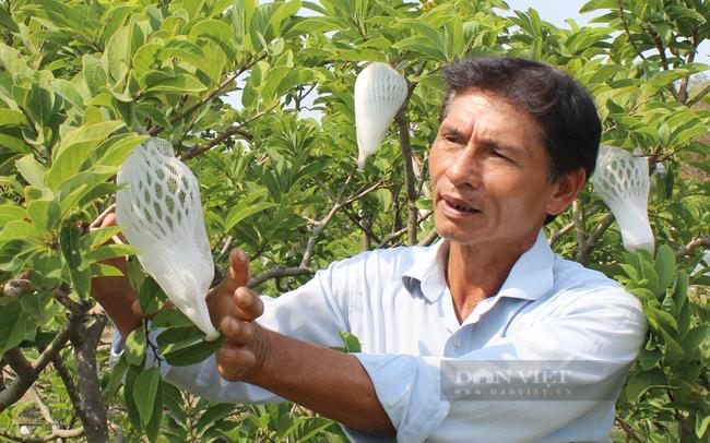Ông Chiêu cũng như nhiều nông dân phải dùng lưới bọc trái mãng cầu lại để hạn chế côn trùng gây hại, nhất là ruồi vàng. Ảnh: Nguyên Vỹ