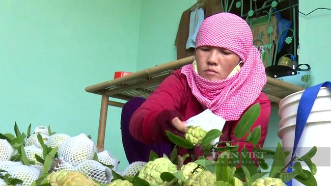 Nông dân trồng đặc sản mãng cầu bà đen ở TP.Tây Ninh. Ảnh: Nguyên Vỹ