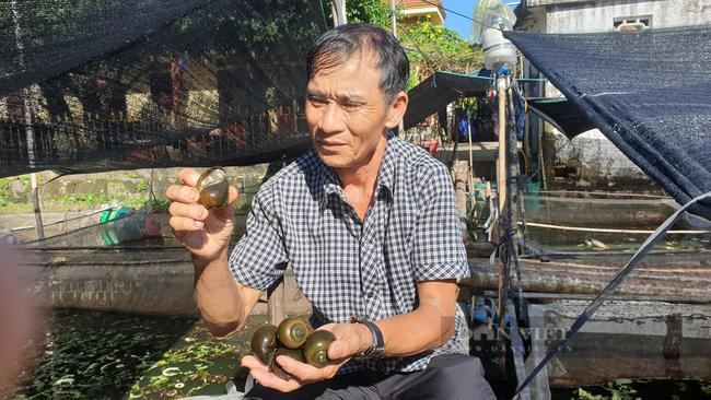 Ninh Bình: U70 nuôi đàn ốc thay cho tập thể dục, mỗi tháng kiếm hàng chục triệu đồng - Ảnh 1.