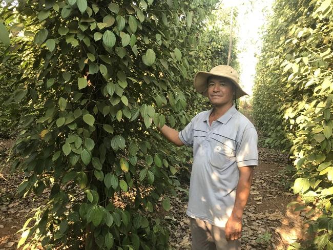 Giá tiêu xuất khẩu tăng cao nhờ cải thiện uy tín của hạt tiêu Việt Nam - Ảnh 1.