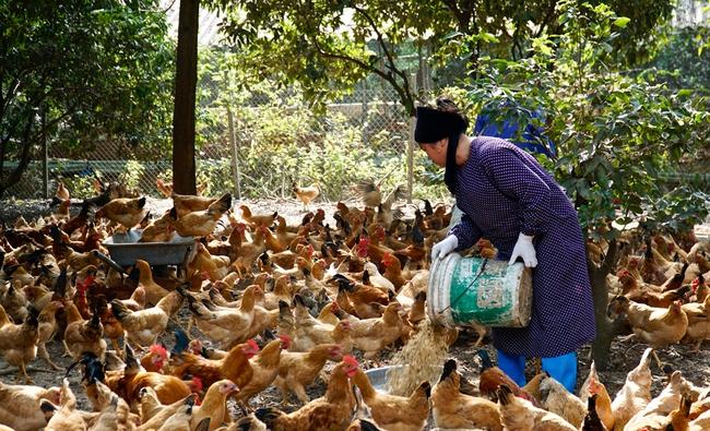 Lợi ích kép từ chăn nuôi gà vi sinh ở Thủ đô - Ảnh 1.