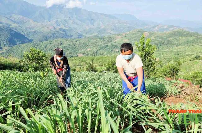 Lai Châu: Người trồng sả lao đao vì giá tinh dầu sả giảm - Ảnh 2.