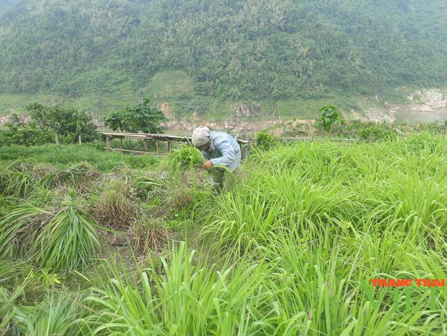 Lai Châu: Người trồng sả lao đao vì giá tinh dầu sả giảm - Ảnh 3.