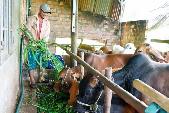 Giúp hội viên ở cao nguyên tạo lập đàn bò, vườn cây trái... - Ảnh 1.