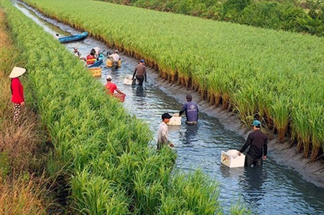 """Từ """"con tôm ôm cây lúa"""", cần tiến tới nâng tầm đặc sản """"lúa thơm, tôm sạch"""" - Ảnh 4."""