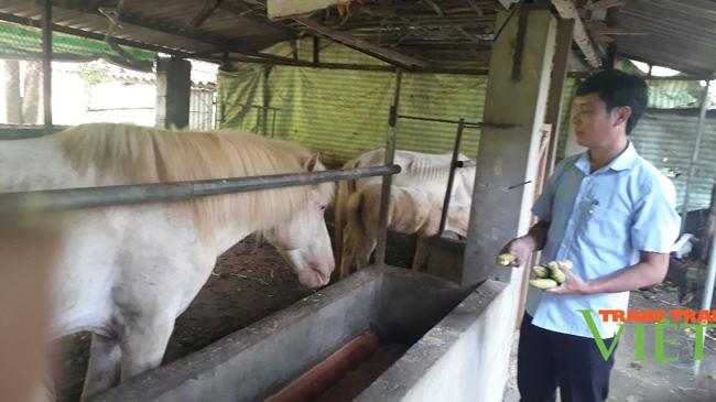 Nuôi ngựa bạch nấu cao, bán thương phẩm, một nông dân ở Lai Châu kiếm bộn tiền - Ảnh 3.