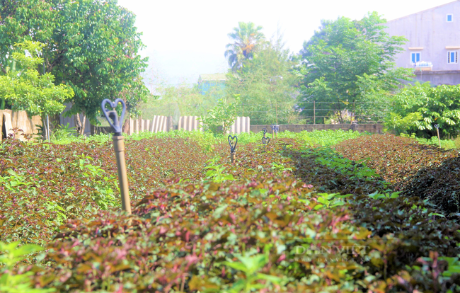 Hà Tĩnh: Nông dân nhìn cánh đồng rau gia vị ứa nước mắt vì bán rẻ như cho - Ảnh 3.