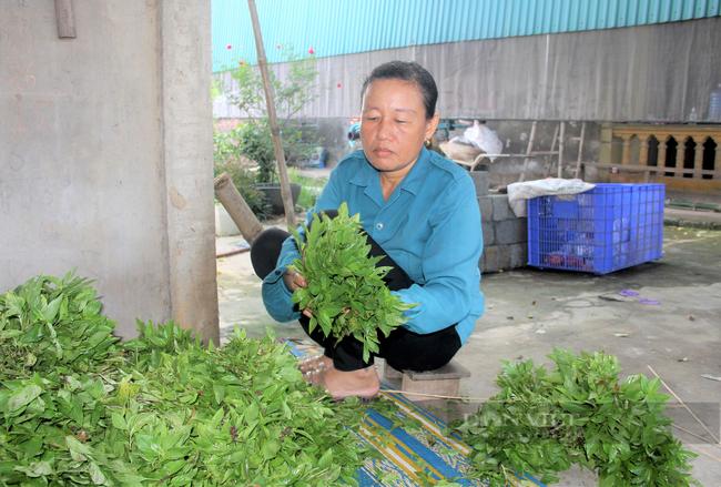 Hà Tĩnh: Nông dân nhìn cánh đồng rau gia vị ứa nước mắt vì bán rẻ như cho - Ảnh 6.