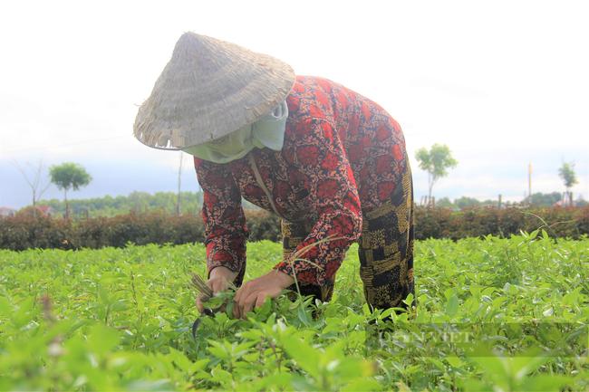Hà Tĩnh: Nông dân nhìn cánh đồng rau gia vị ứa nước mắt vì bán rẻ như cho - Ảnh 8.