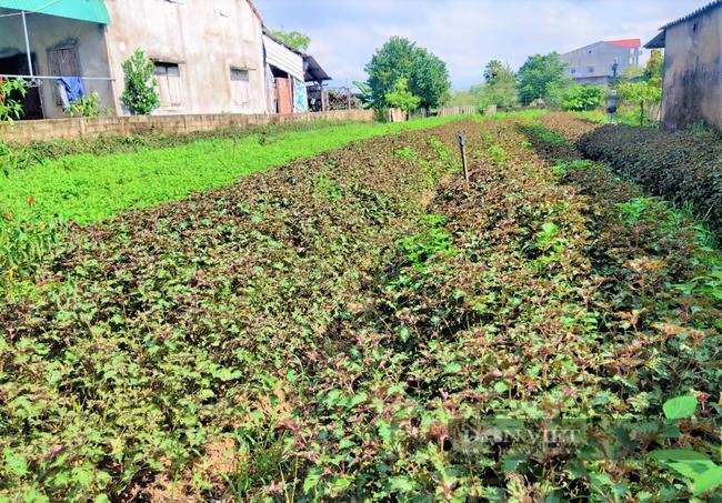 Hà Tĩnh: Nông dân nhìn cánh đồng rau gia vị ứa nước mắt vì bán rẻ như cho - Ảnh 9.