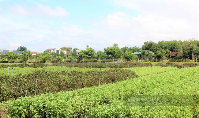 Hà Tĩnh: Nông dân nhìn cánh đồng rau gia vị ứa nước mắt vì bán rẻ như cho - Ảnh 5.