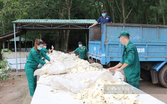 Công nhân cao su ở tỉnh Bình Phước làm việc trong điều kiện giãn cách xã hội. Ảnh minh họa: TCCS
