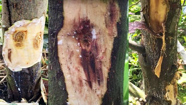 Giá mít Thái hôm nay 28/9: Dấu hiệu cây mít dễ bị xì mủ, không khắc phục sớm phải cưa bỏ - Ảnh 1.