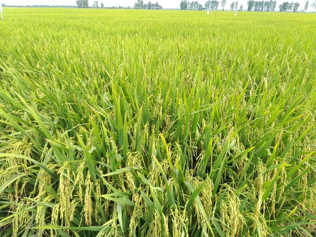 """Nông dân vùng """"rốn phèn"""" trồng lúa theo cách mới, lợi nhuận tăng gần 4 triệu đồng/ha - Ảnh 2."""