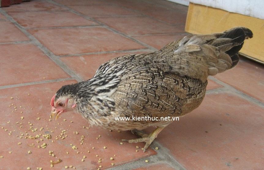 Chú gà đẻ ra quả trứng bé xíu