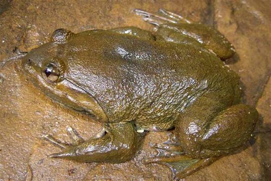 Loài ếch rộng miệng Khorat hay Limnonectes megastomias