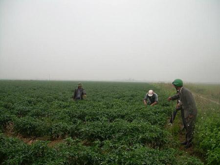Vùng trồng ớt tập trung hiệu quả kinh tế cao ở xã Trấn Dương, huyện Vĩnh Bảo (Hải Phòng).