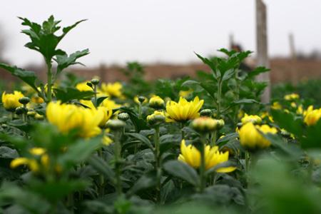 Hoa cúc vàng ở làng hoa Tây Tựu.