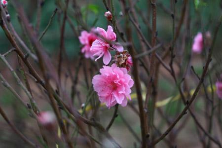 Hoa đào của mùa xuân Hà Nội.