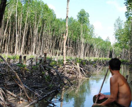 Rừng đước tại VQG Mũi Cà Mau bị xâm hại nghiêm trọng.