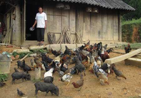Từ vốn vay Ngân hàng CSXH, nhiều ND ở Tuần Giáo đầu tư vào chăn nuôi.