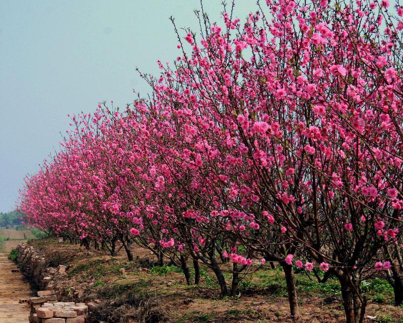 Hoa đào Nhật Tân (Nguồn ảnh: Internet)