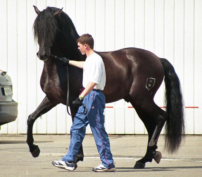 Một chú ngựa thuộc dòng Andalucian.
