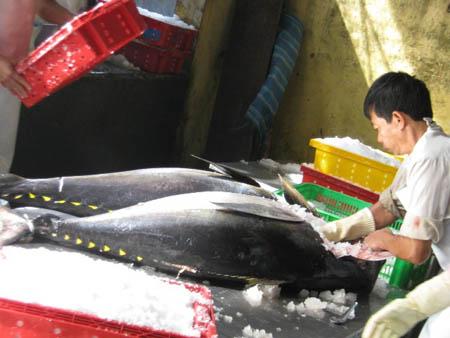 Sơ chế mẻ cá ngừ đại dương đầu năm