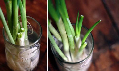 Khi thu hoạch, cắt phần thân, phần gốc giữ lại... rồi cắm và cốc, hộp, một thời gian sau lại có rau ăn tiếp