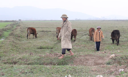 """Những thửa ruộng trước đây được coi là """"bờ xôi, ruộng mật"""" nay biến thành bãi chăn thả trâu bò. Ảnh chụp tại xã Thiệu Giao, huyện Thiệu Hóa, Thanh Hóa."""