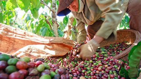 Thị phần của cà phê Việt Nam có thể tăng lên tới 21,68%.