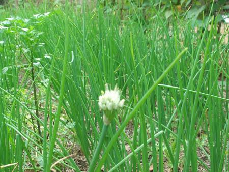 Hoa trên giống hành củ tại vườn nhà anh Nguyễn Văn Tâm (Đồng Xuân, Phú Yên)