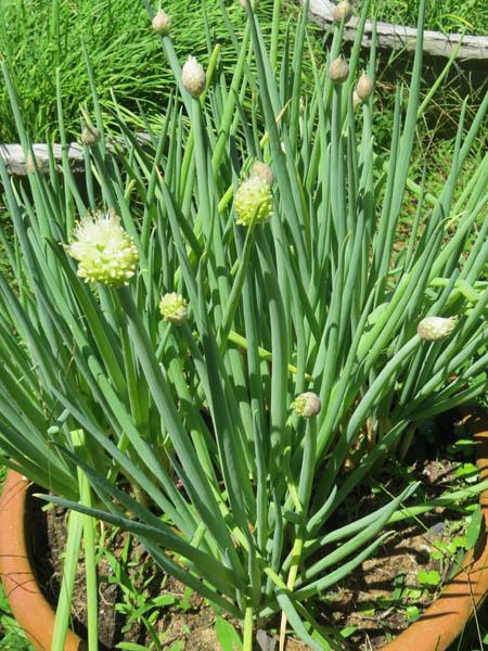 Hoa trên giống hành lá tại vườn nhà bà Phạm Bích Liên (Tuy Hòa, Phú Yên)
