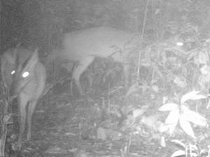 Loài mang bị cho là đã tuyệt chủng vừa được phát hiện tại Khu bảo tồn thiên nhiên Xuân Liên. (Nguồn: klth.org.vn)