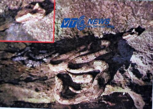 Con rắn có mào ông Son quay được ở hang Bói (Ảnh chụp lại từ video)