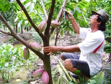 Phân vô cơ rất quan trọng với cây ca cao, giúp tăng năng suất  và hạn chế sâu bệnh.