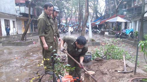 Công nhân Công ty công viên cây xanh Hà Nội thu dọn hiện trường cây sưa đỏ bị cưa trộm.