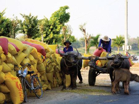Nông dân chở lúa ra vệ đường chờ thương lái. Ảnh: H.L