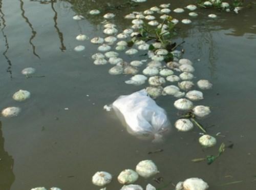 Bắp cải bị thả trôi sông.